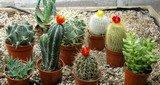 cactus, succulents,