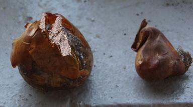 Colchicum bulbs