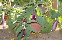 eggplant container