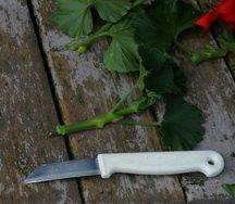 geranium cutting