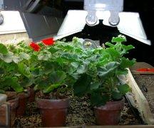 geraniums, pelargoniums