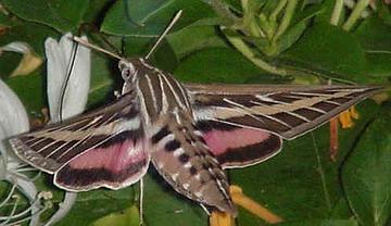 sphinx moth, tomato honworm
