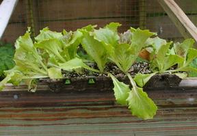 lettuce egg