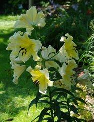 lily golden stargazer