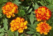 Marigold, bolero mix