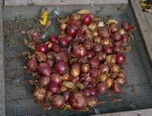 onions drying