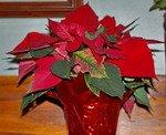 Poinsettia, houseplant, christmas plant