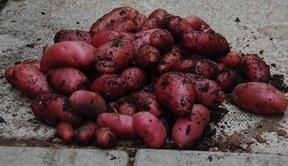 potatoes french fingerling