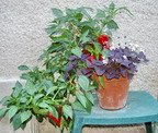 peppers, container garden