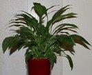 spathyphyllum  easy houseplant