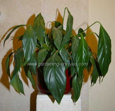 spathiphyllum, wilting