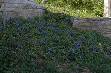 Vinca minor, periwinkle