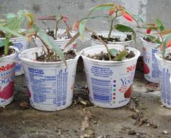 yogurt seeds